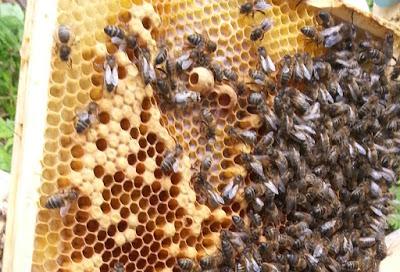 Bees-Queen-cups-Peti-Buchel