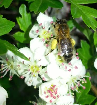 Poranny Pirate Bees pollen